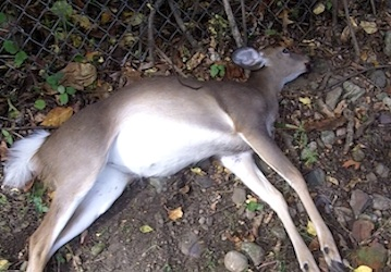 dead-deer-removal-essex-fells-nj_zps4ff53228